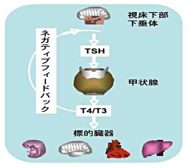 ホルモン 甲状腺